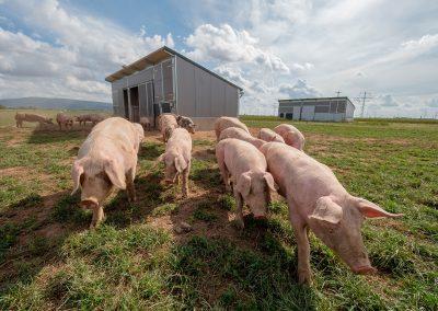 Mobilstall Schweinemast: Schweine vor unserem Schweinestall vom Typ REGIO