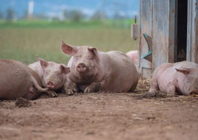 Mobilstall Schweinemast: Tierwohl bildet das Zentrum unserer Stallentwicklung.