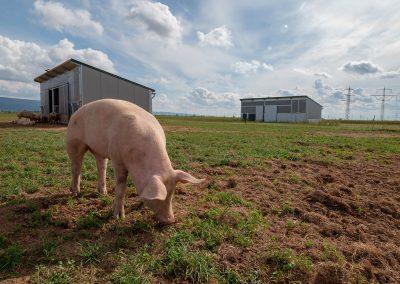 Mobilstall Schweinemast: Ein Schwein grast vor zwei mobilen Schweineställen.